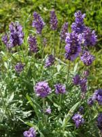 Lavendel - bei innerer Unruhe